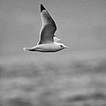 Common Gull Seagull In Flight Larus Canus Laridae On Atlantic Ocean Between Rathlin Island And Bally by Joe Fox