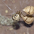 Common House Spider - Parasteatoda Tepidariorum by Mother Nature