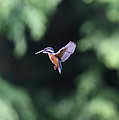 Common Kingfisher In Flight by Akihiro Asami