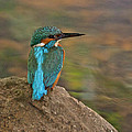 Common Kingfisher by Paul Scoullar