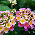 Common Lantana Flower by Jeelan Clark