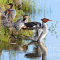 Common Merganser Family 2a by Sharon Talson