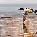 Common Merganser In Flight by Bill Wakeley