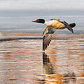 Common Merganser In Flight Square by Bill Wakeley