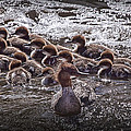 Common Merganser With Chicks by Randall Nyhof