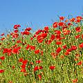 Common Poppy Flowers  by Jaroslav Frank
