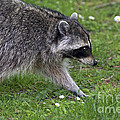 Common Raccoon by Sharon Talson