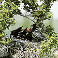 Common Raven Feeding Young In Nest by William H. Mullins