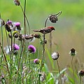 Common Redpoll In A Field Of Thistle by Maria Urso