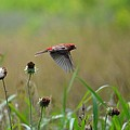 Common Redpoll In Flight by Maria Urso
