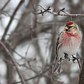 Common Redpoll - Sizerin Flamme - Acanthis Flammea by Nature and Wildlife Photography