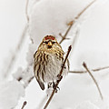 Common Redpoll by Susan Capuano