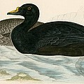 Common Scoter by Beverley R Morris