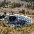 Common Seal Resting On The Beach by Tony Webb