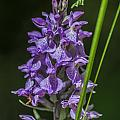 Common Spotted Orchid by Steve Purnell