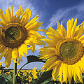 Common Sunflower Field by Ingo Arndt