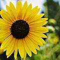 Common Sunflower by Walter Herrit