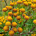 Common Tansy by Claus Siebenhaar