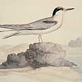 Common Tern, 19th Century Artwork by Science Photo Library