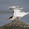 Common Tern Pictures 67 by World Wildlife Photography