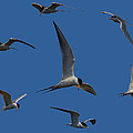 Common Terns Collage by Ernie Echols