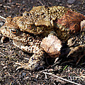 Common Toads by Phil Banks