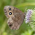 Common Wood-nymph On Thistle by Kathryn Whitaker