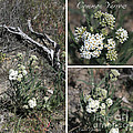 Common Yarrow Collage by Carol Groenen