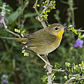 Common Yellowthroat Hen by Anthony Mercieca
