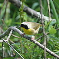 Common Yellowthroat by Neal Eslinger