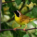Common Yellowthroat Warbler by John Absher
