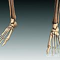 Conceptual Image Of Bones In Human Legs by Stocktrek Images