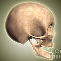 Conceptual Image Of Human Skull, Side by Stocktrek Images