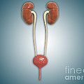 Conceptual Image Of Kidneys With Ureter by Stocktrek Images
