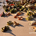 Conch Collection by Jola Martysz