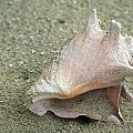 Conch by Debby Richards