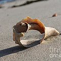 Conch On The Beach by John Doble