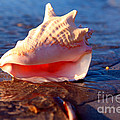 Conch Shell by Lynne Sutherland