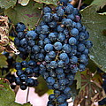 Concord Grapes by Leeon Photo