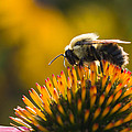Cone Flower And Bee by Selim Tuzun