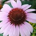 Cone Flower by April Rouse