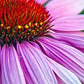 Cone Flower Blossom  by Eric Rundle