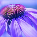 Cone Flower In Pastels  by Linda Bianic