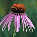 Cone Flower In Vertical Format by John Harmon