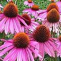 Cone Flowers 2 by Lew Davis