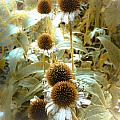 Cone Flowers by Connie Dye