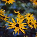 Cone Flowers by Marcio Faustino