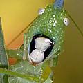 Cone-head Grasshopper by Francesco Tomasinelli