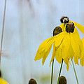 Coneflower And Bee 2  by Susan McMenamin