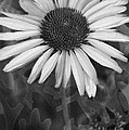 Coneflower And Dusty Miller Bw by Lesa Fine
